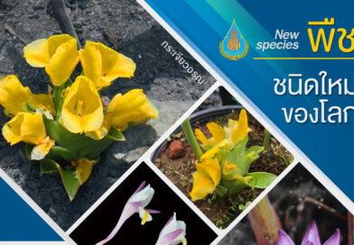 """พบพืชชนิดใหม่ของโลก """"กระเจียวอรุณและช่อม่วงพิทักษ์"""" พืชถิ่นเดียวของไทย นำมาใช้ประโยชน์ได้หลายด้าน"""
